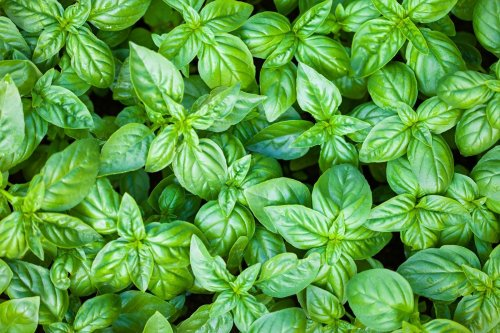 plants-green-herb-basil-plant-groundcover-829782-wallhere.com