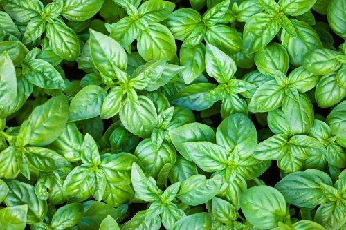 plants-green-herb-basil-plant-groundcover-829782-wallhere.com